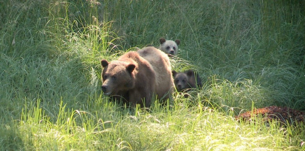 A mother grizzly bear and two cubs in the long grass in the Khutzeymateen Grizzly Bear Sanctuary.