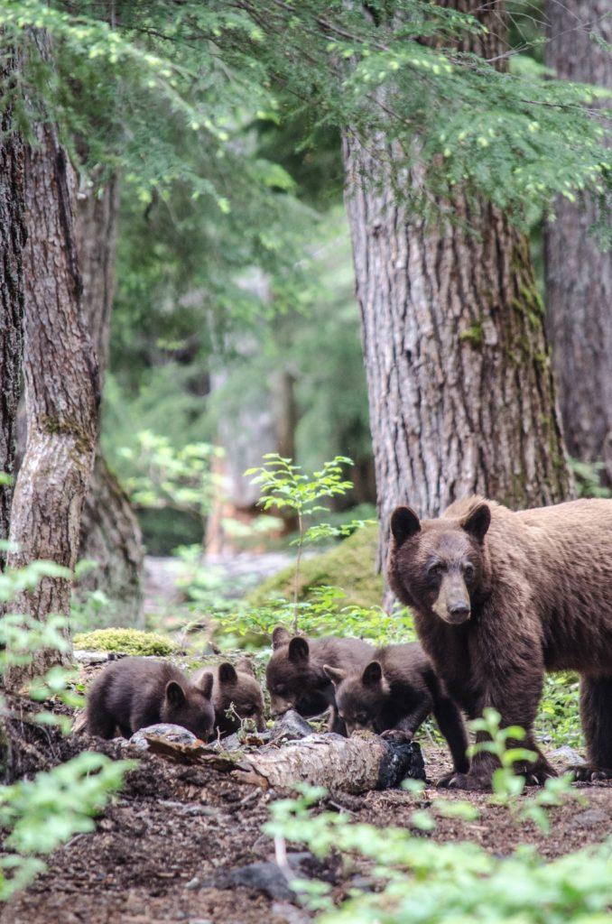 Black bears in Pemberton.