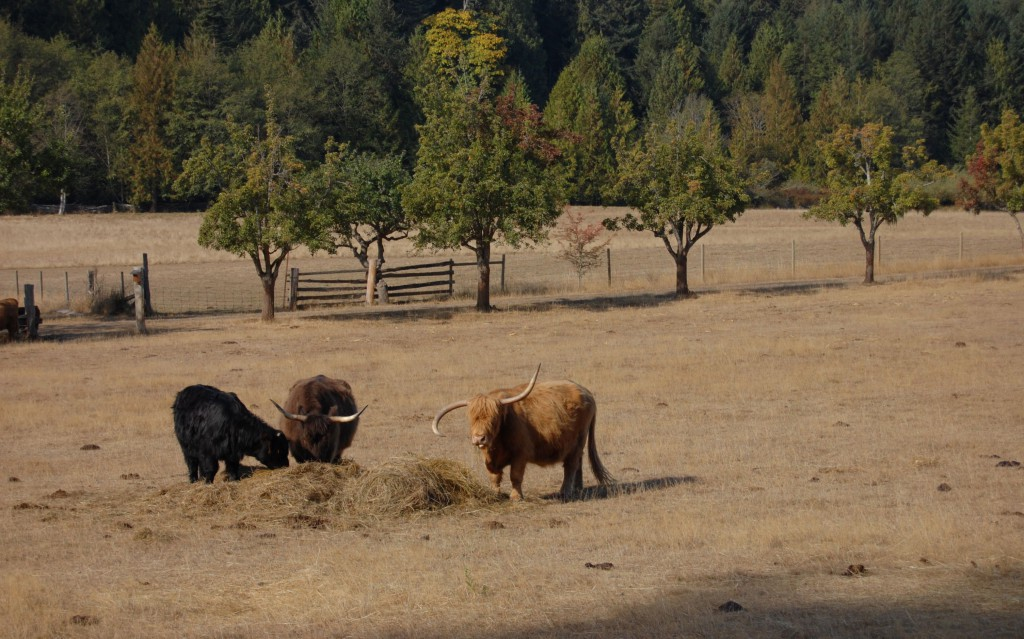 Cows grazing on Ruckle Farm, Salt Spring Island. Photo: SYinc