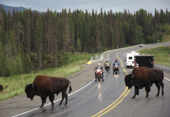 Motorcycles and bison the Alaska Highway