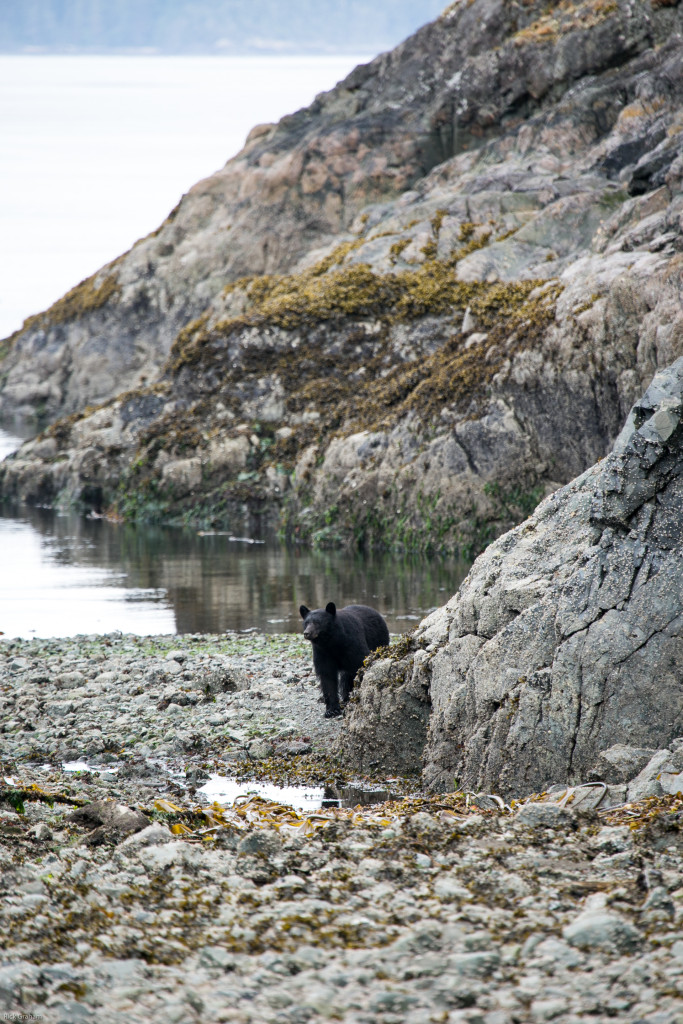 Black bear on the Blinkhorn trail in Telegraph Cove on northern Vancouver Island. Photo: Rick Graham/Destination BC