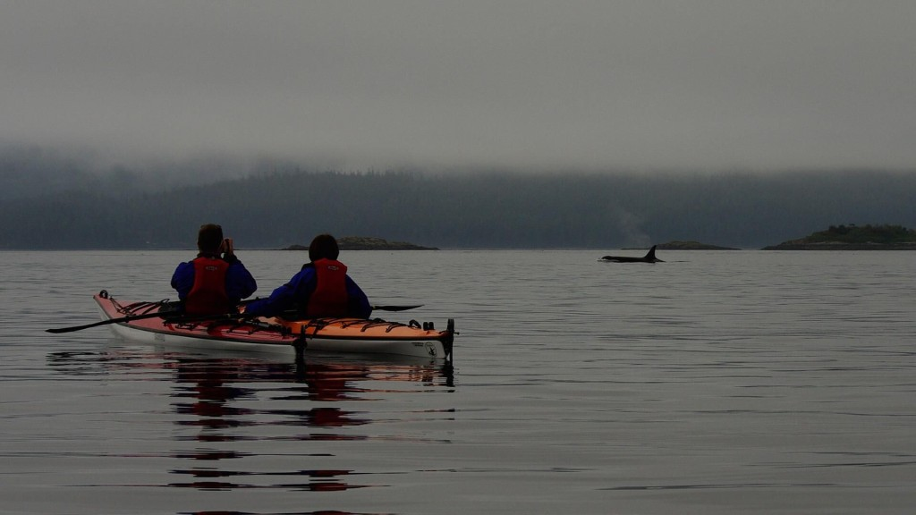 Kayaking with orcas near Telegraph Cove. Photo: Kingfisher Wilderness Adventures