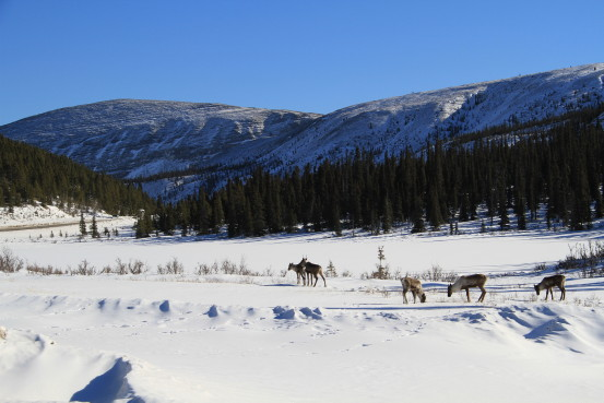 A herd of caribou graze in a winter landscape.