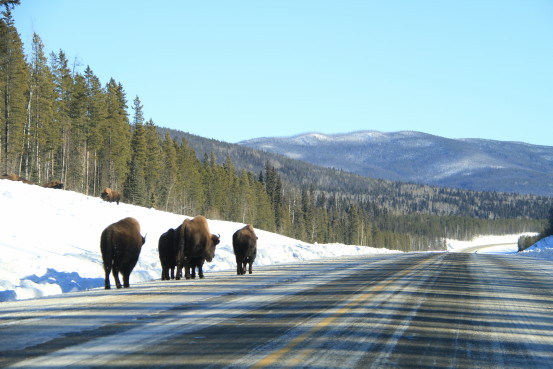 A herd of bison walk down the shoulder of a snowy highway.