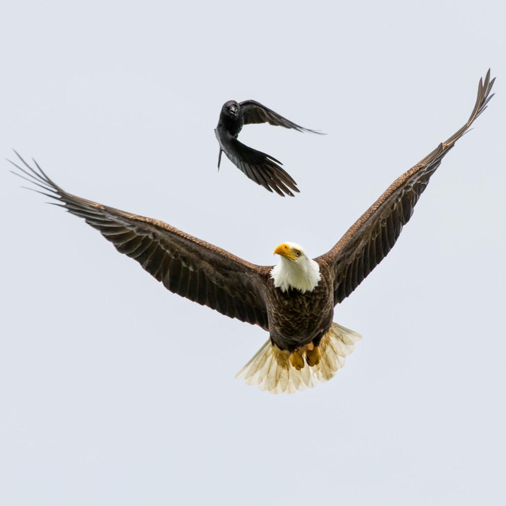 A crow chasing a local Tofino bald eagle near Dead Man's Island by @jeremykoreski
