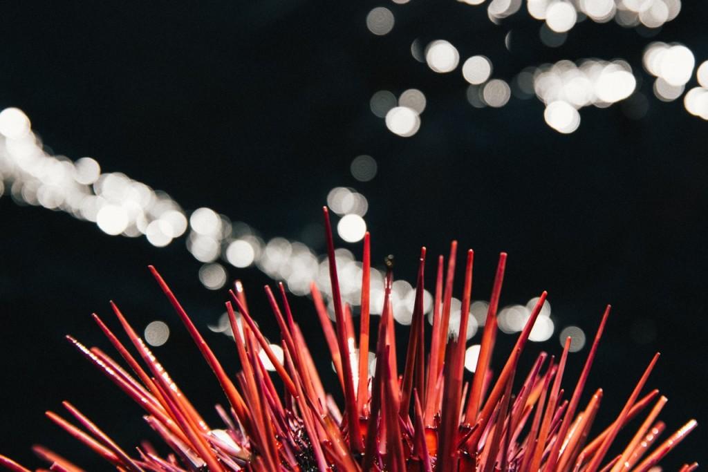 A red urchin in the Queen Charlotte Strait. Photo: @jeremykoreski
