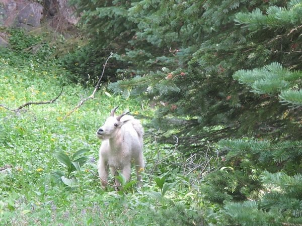 A closer look at a mountain goat in Cathedral Mountain Park