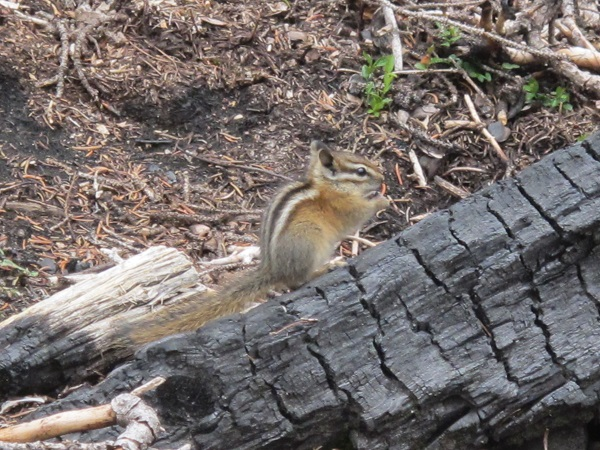 Friendly critters greet hikers in Cathedral Mountain Park