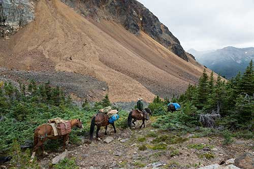 Four horses packing gear to the hikers' camp.