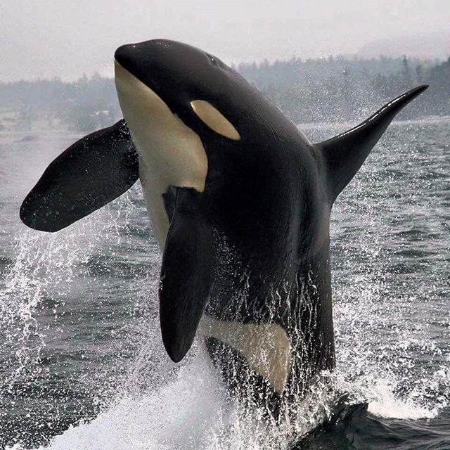 A breaching Orca Whale.