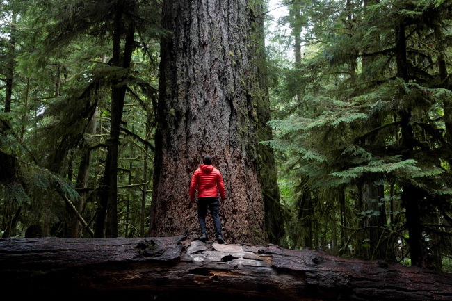 A man in a red jacket stands on a fallen log, looking upwards at a tall tree.