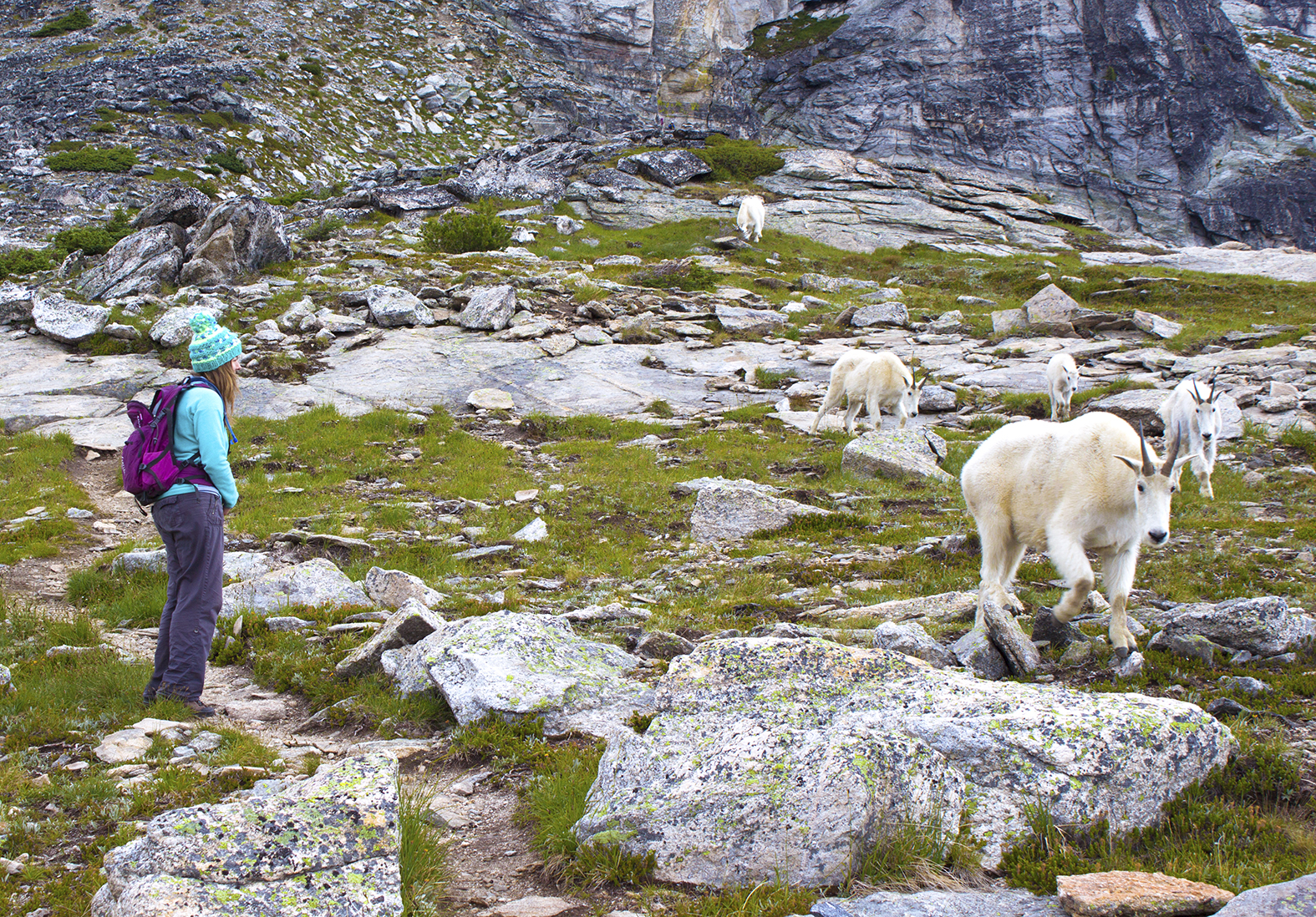 A woman pauses her hike to allow a family of goats to cross her path.