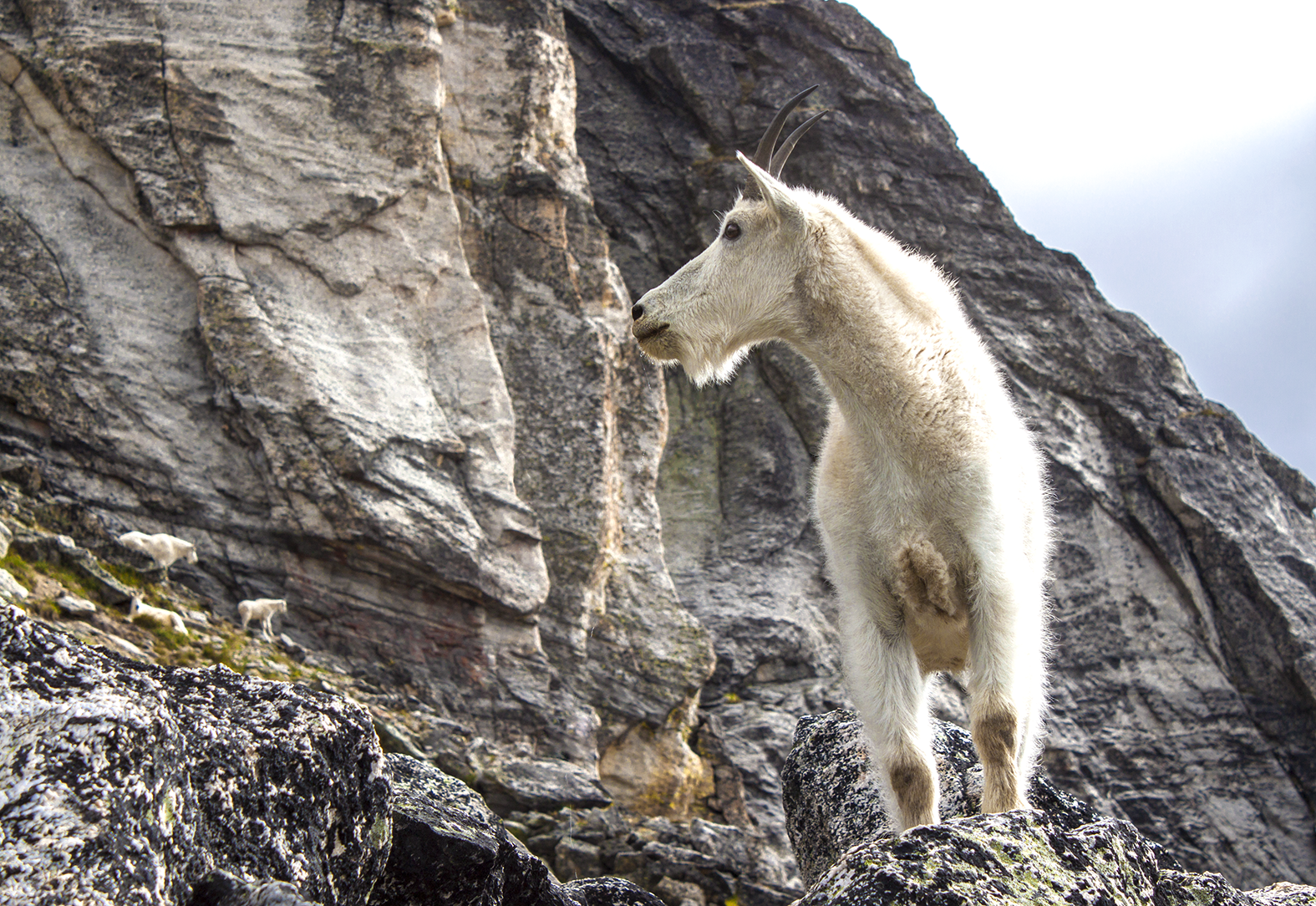 A furry white goat perched on a rock.