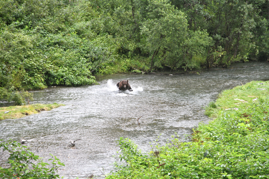 A grizzly bear hunting salmon in a creek.