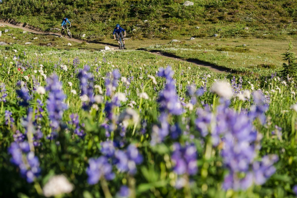 Two cyclist pedal down a trail lined with bright purple flowers.