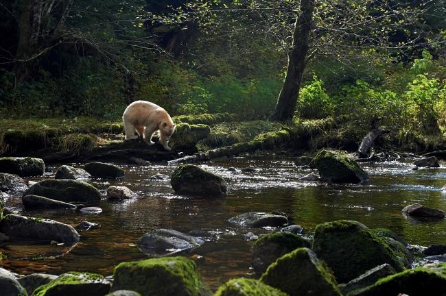 A Spirit bear explores a rocky riverbank.