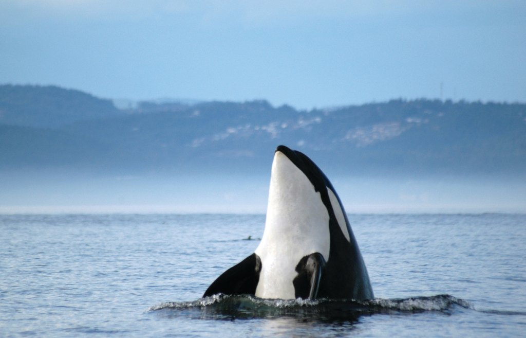 An orca whale sticks its head out of the ocean.