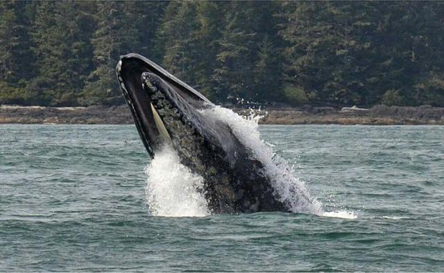 A breaching humpback whale.
