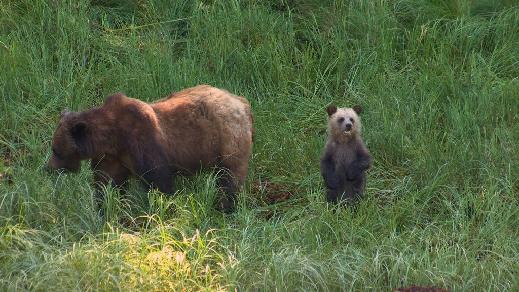 A grizzly bear and its cub walk through tall green grass.