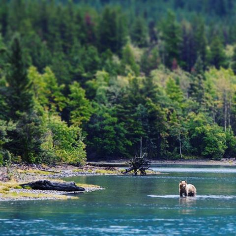 A young bear fishes in Chilko Lake.