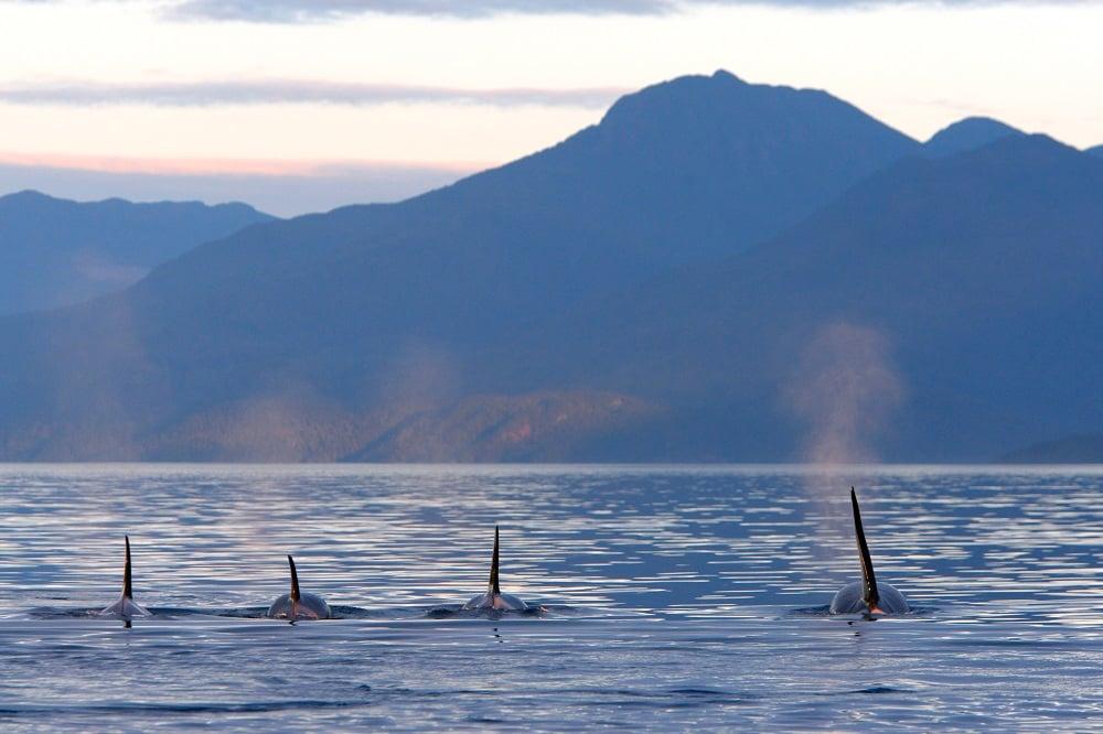 An Orca pod swim through deep blue waters.