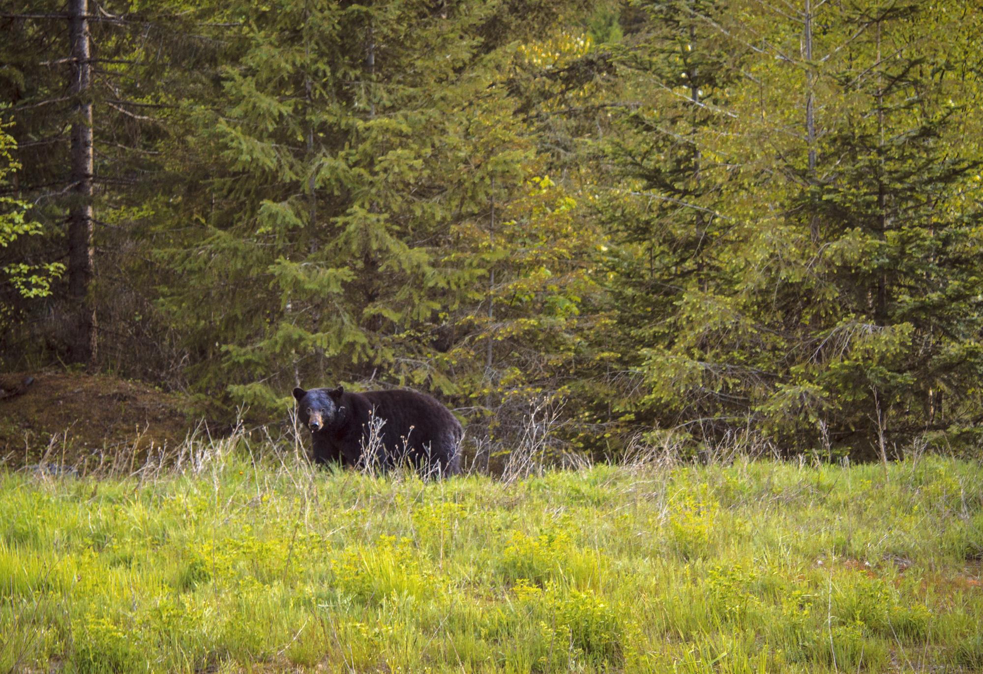 A black bear walks through tall grass at the edge of the forest.