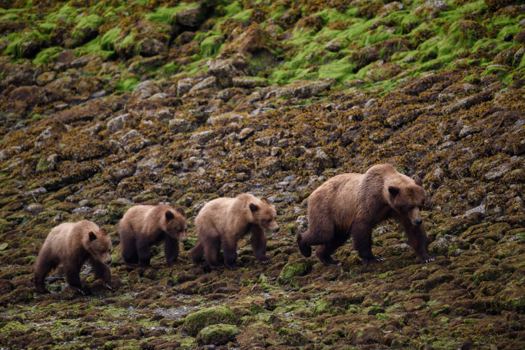 Mama grizzly and her cubs in the Khutzeymateen, north of Prince Rupert.