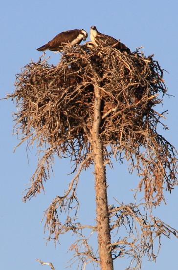 Osprey nest near Atlin, BC