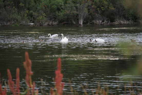 Trumpeter swans at Atlin, BC