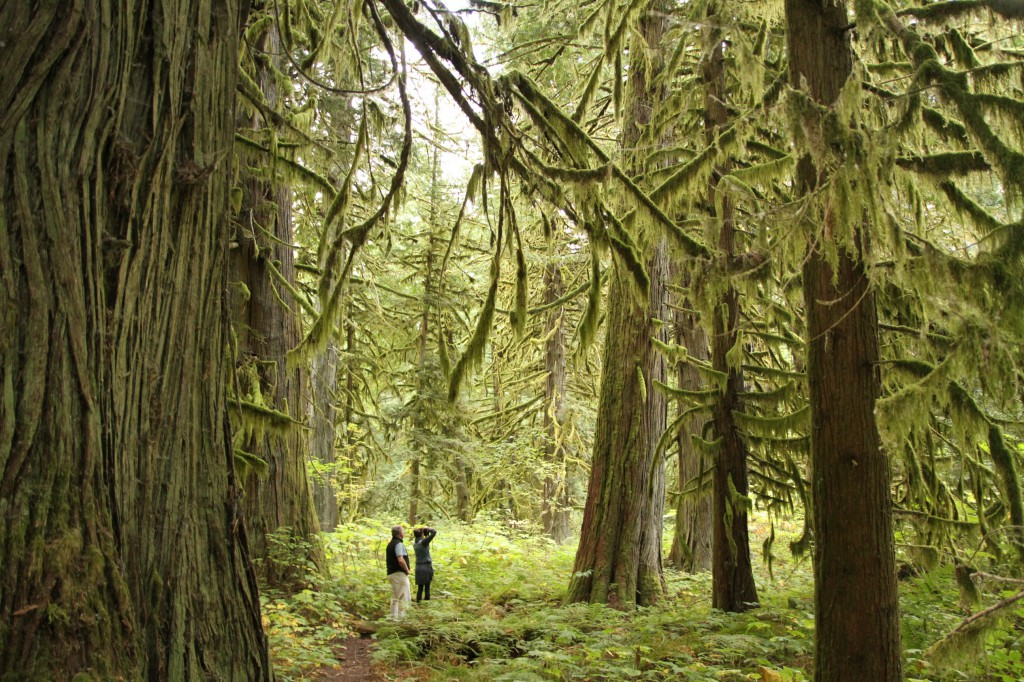 Hikers travel down a path lined with moss-covered trees.