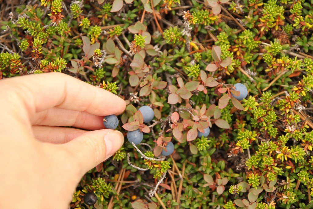 A hand picks blueberries from a bush.