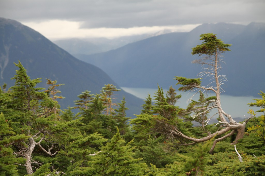 Windswept trees look out over a mountainous landscape.
