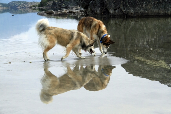 Two dogs walk through shallow water on a beach.
