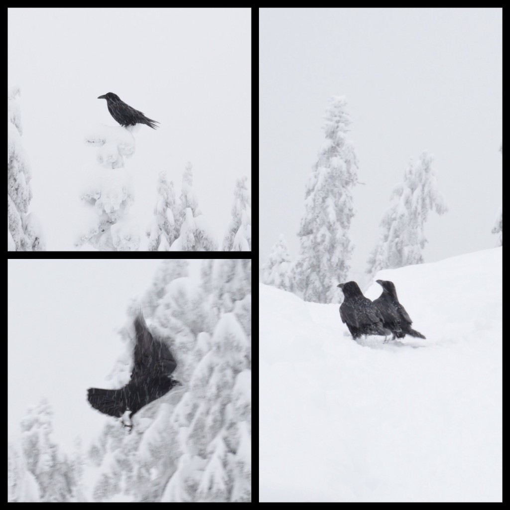 Crows at Grouse Mountain. Photo: SYinc