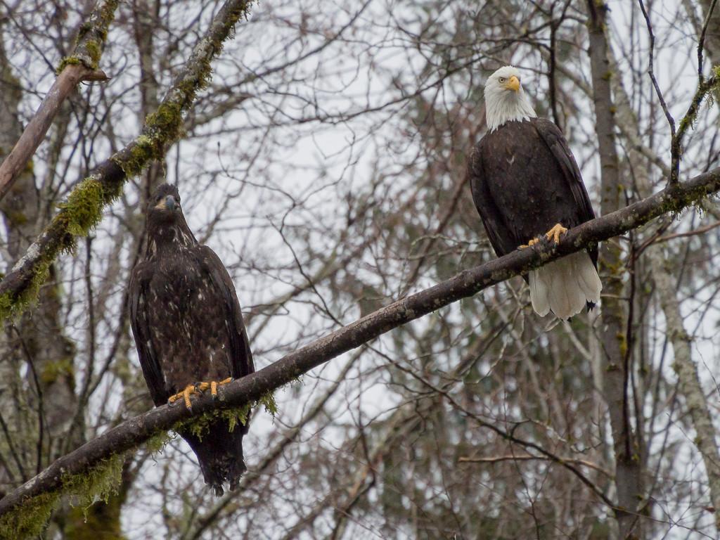 Sunwolf eagles in Squamish