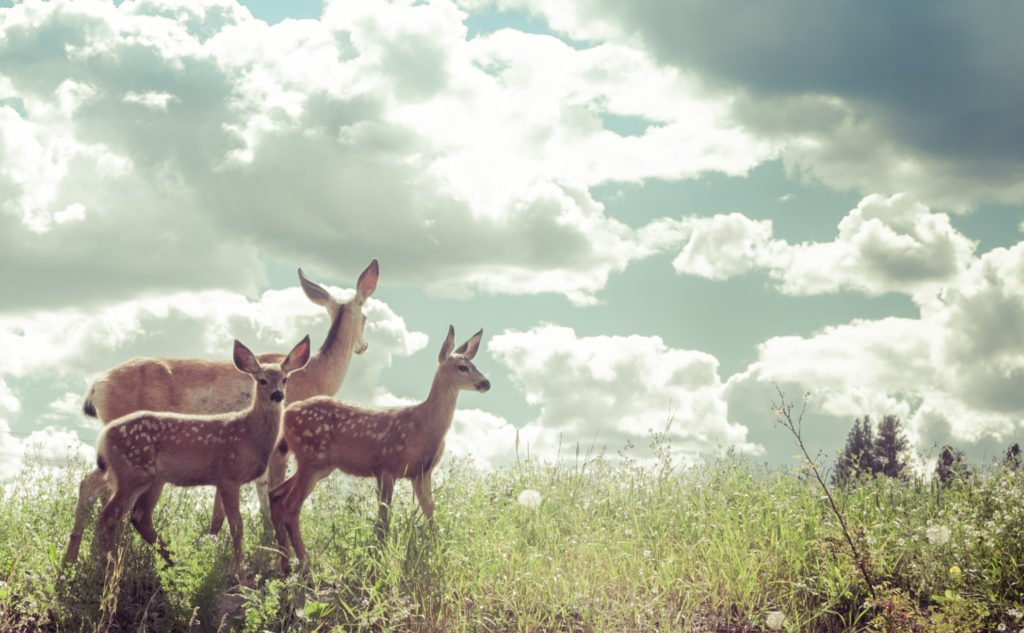 Deer on the Kettle Valley Rail Trail in the Similkameen. Photo: Niki Kennedy