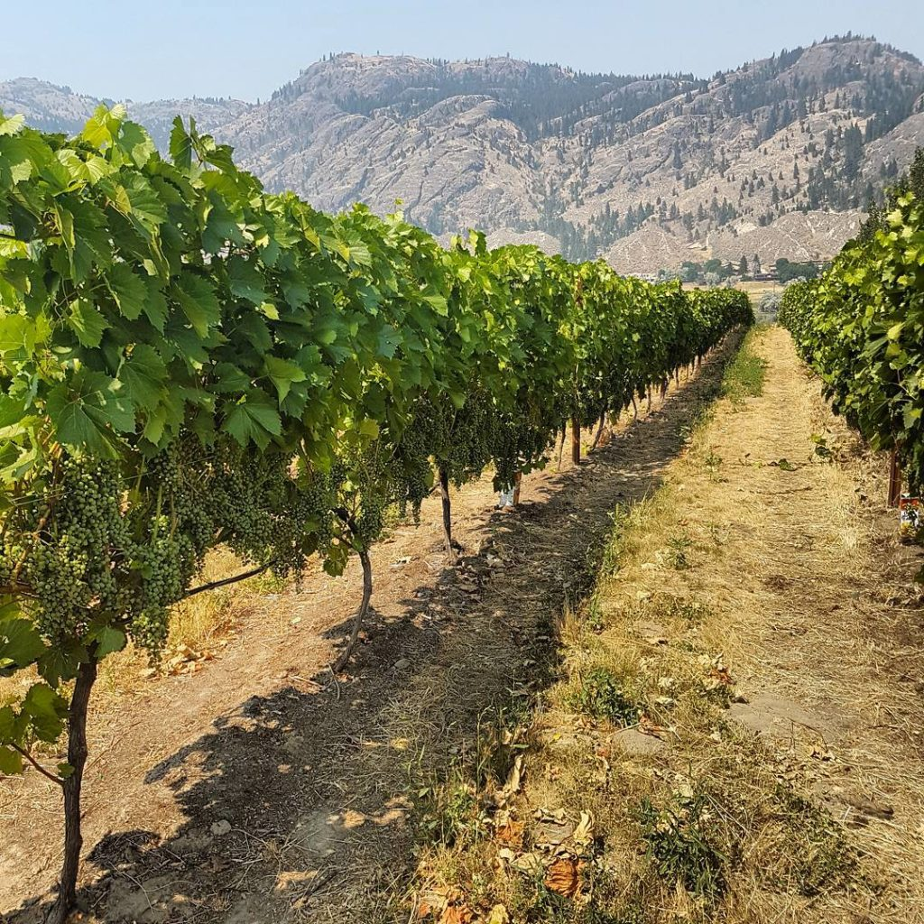 A lush vineyard at the base of a mountain range.