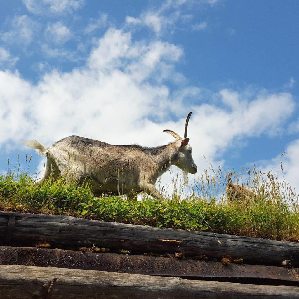 A goat walks through tall green grass under a blue sky.