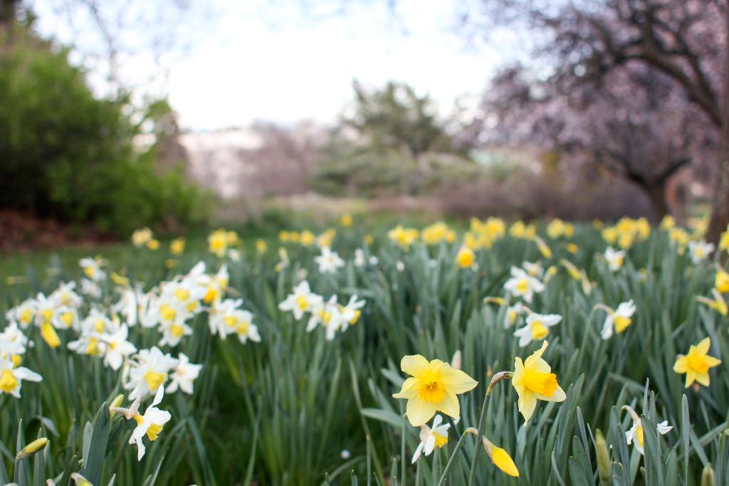 Daffodils in Beacon Hill Park, Victoria BC