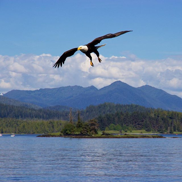 An eagle soaring above the ocean, with it's wings outstretched and yellow talons and beak perfectly visible.