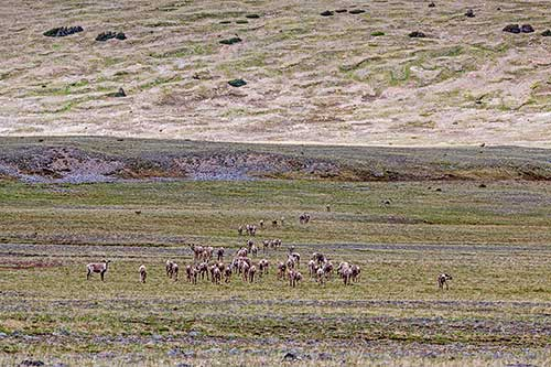 A herd of approximately 30 caribou standing in a group in the Ptarmigan Basin.
