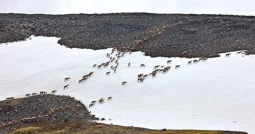 Approximately fourty caribou walking in two lines across snow covered ground toward a rocky ground.