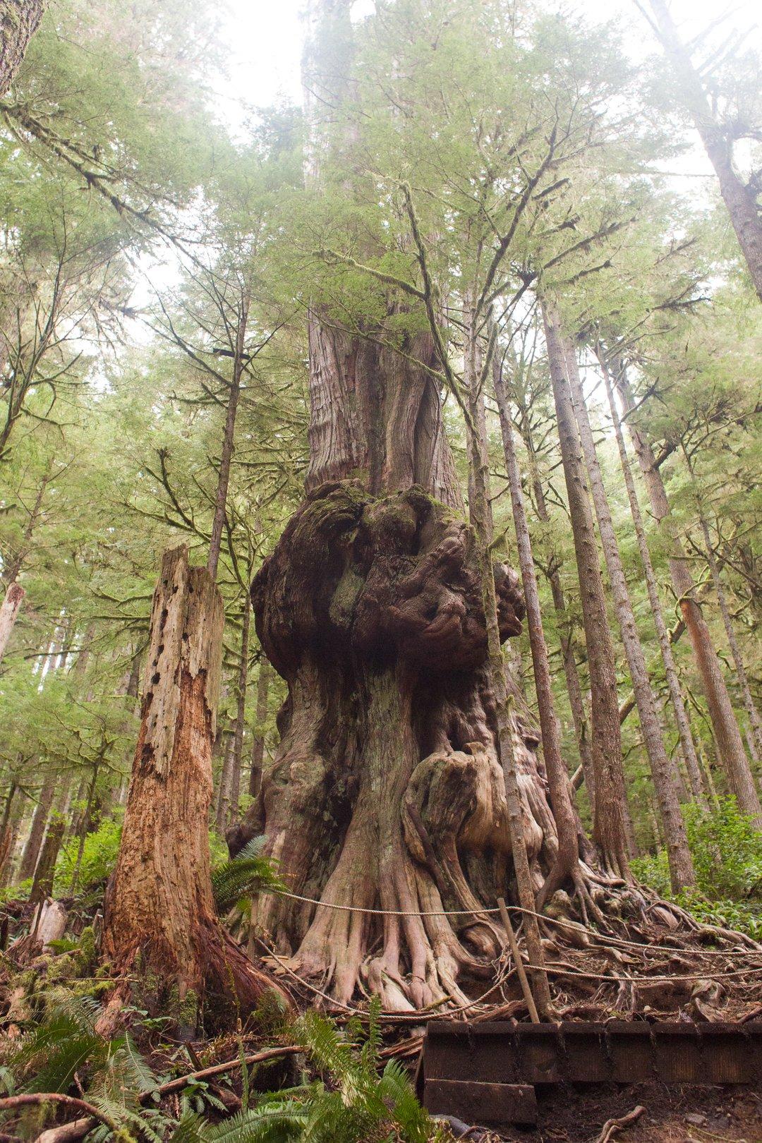 Avatar Grove near Port Renfrew on Vancouver Island