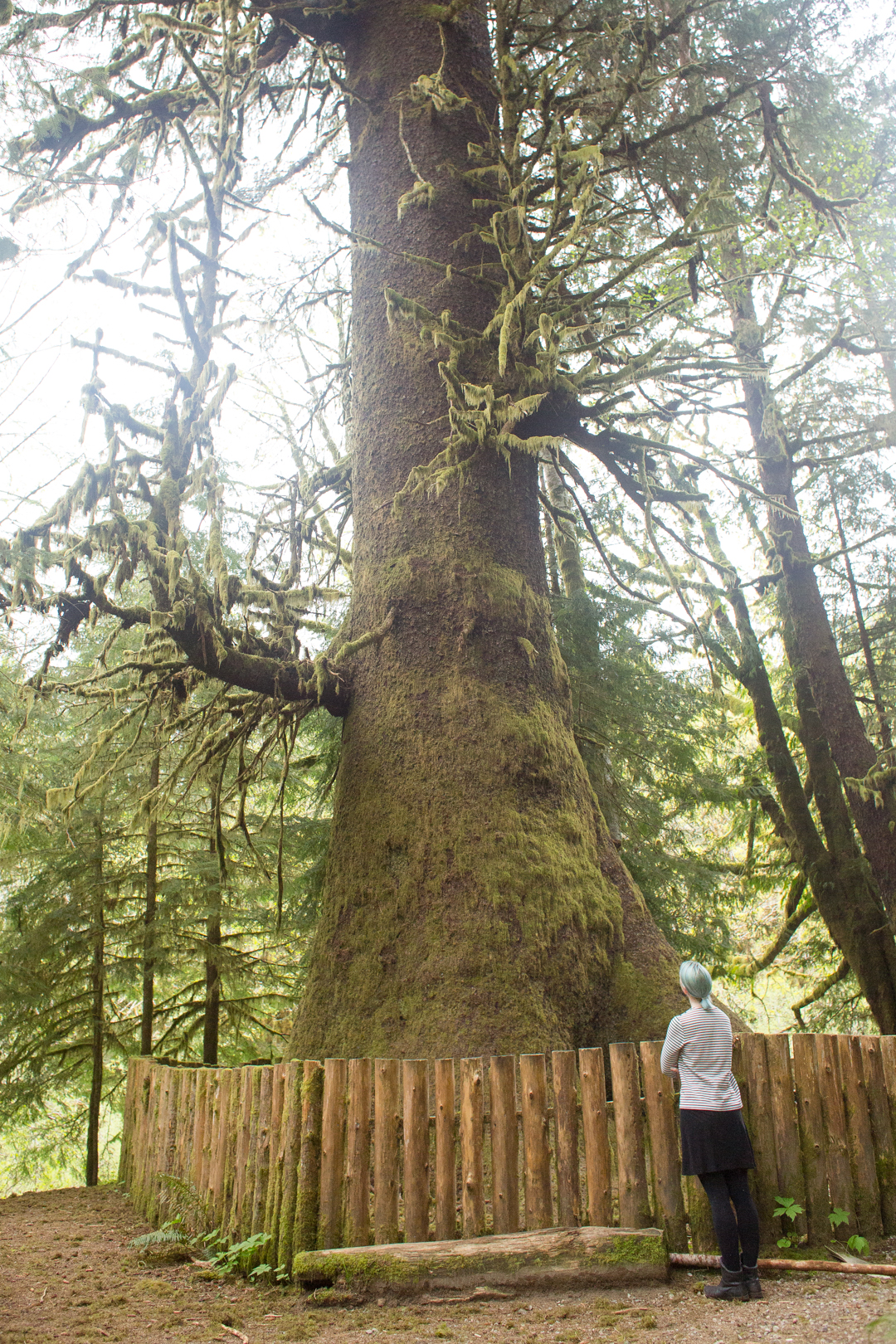 The Harris Sitka Spruce, found on the road from Port Renfrew to Lake Cowichan, on Vancouver Island