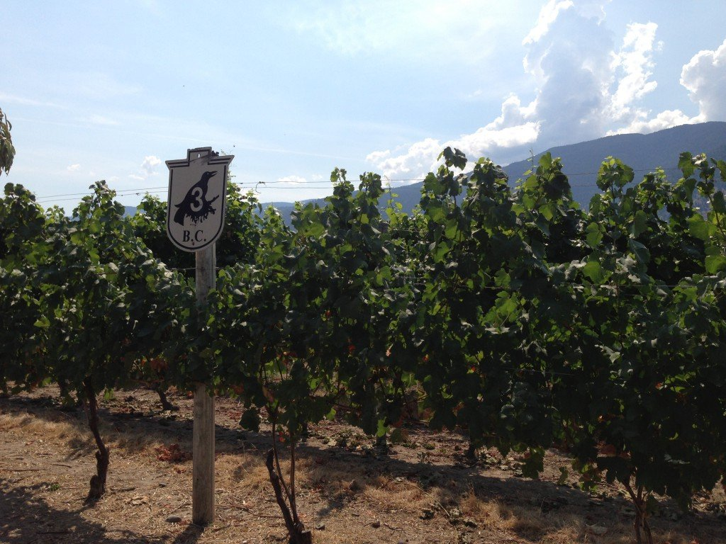 Vines at Crowsnest Vineyard in Cawston, BC