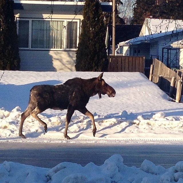 A moose walking down a city street in Prince George