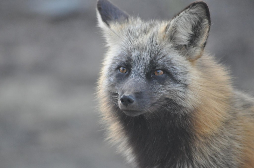 Close up of a fox in Prince George.