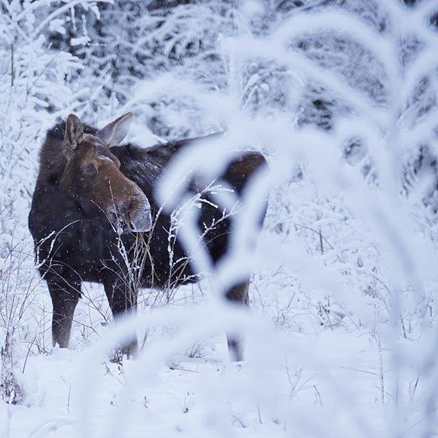 A moose in the frost in Northern BC.