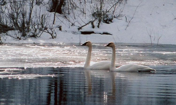 Two swans swimming on Crooked River near Prince George.