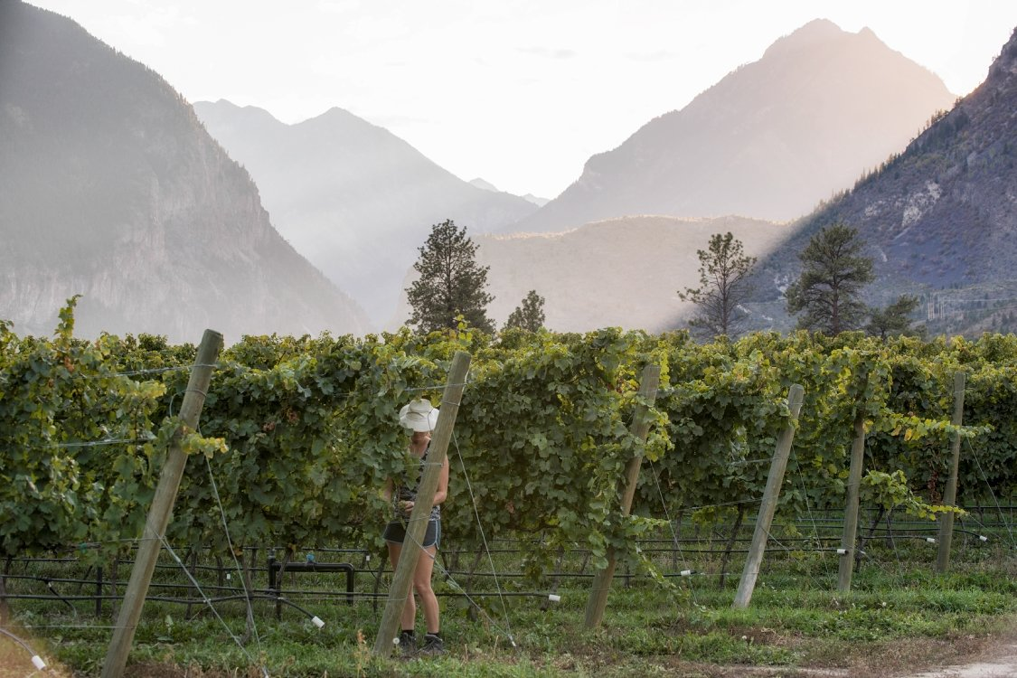 A woman picking grapes in a vineyard.